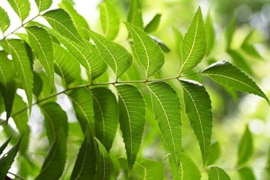 Neem Is Used As Contraceptive