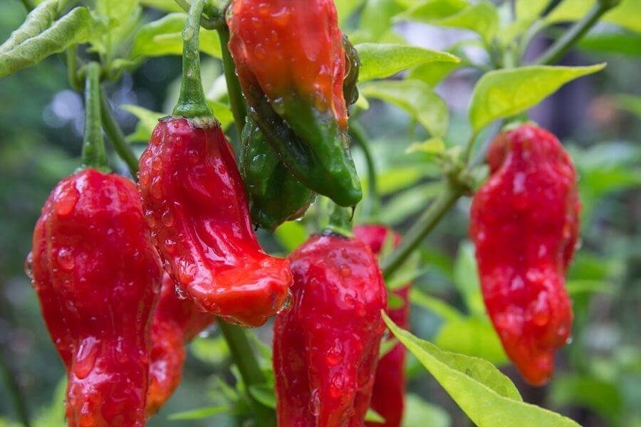 Top 15 surprising facts about North-east India - Spiciest chili of the world