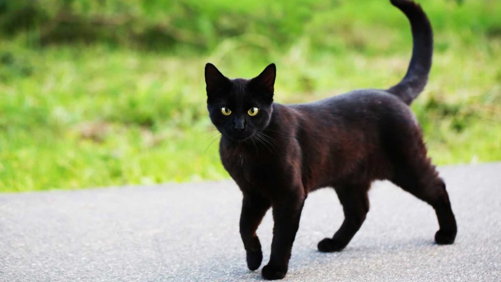 A Black cat crosses your path
