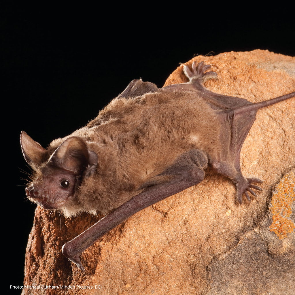Mexican free-tailed-bat